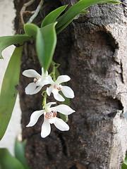 Sarcochilus falcatus (etolli) Tags: orchid australia sarcochilus falcatus