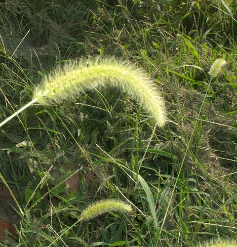 Grass Blossom Nodding