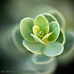 Watery Pearl (Rex Maximilian) Tags: plants nature water botanical hawaii leaf drop