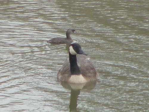 Pied-billed Grebe & Canada Goose