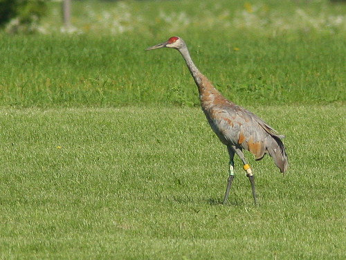 Sandhill Crane with Yellow-White-Silver on left leg 20100815