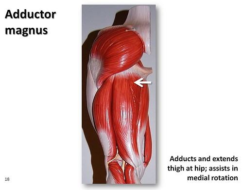 Adductor Magnus Muscles Of The Lower Extremity Anatomy Visual