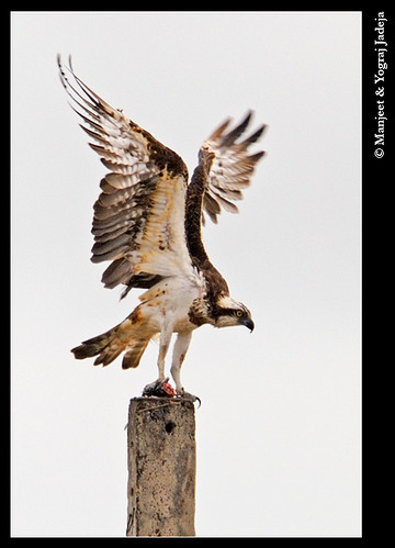 Osprey (Pandion haliaetus) with fish
