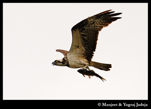 Osprey (Pandion haliaetus) flying with  fish