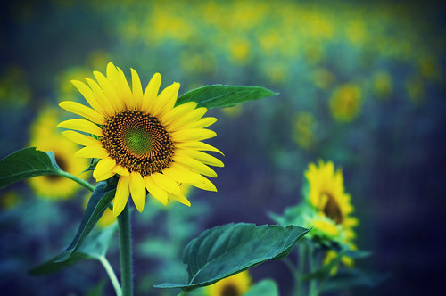 フリー写真素材, 花・植物, キク科, 向日葵・ヒマワリ, 黄色の花,