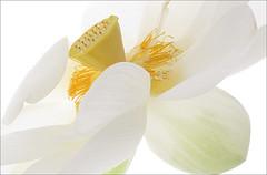 White Lotus Flower - Lotus Flower - Lotus_Petal, Lotus_Petals, IMG_8767 (Bahman Farzad) Tags: white flower macro yoga peace waterlily lotus relaxing peaceful meditation therapy lotusflower lotuspetal lotuspetals lotusflowerpetals lotusflowerpetal