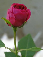 mini-rosa (henriiqueprado) Tags: sony cybershot dsc hx1 rosa minirosa miniflor flor vermelho boto botovermelho macro flormacro