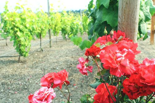 Wayside Vineyard
