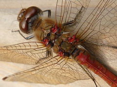 Common Darter (Clare L H) Tags: macro nature animal insect dragonfly wildlife commondarter mywinners