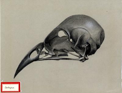 Cactospiza skull. 1961.