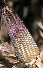 Gibberella ear rot on maize (CIMMYT) Tags: pink red rojo corn rosa growth fungus ear damage cob maize rosada disease hongo pinkish infection roja crecimiento reddish mazorca rojiza pathogen rosado enfermedad moho fungal mycelium dao maz rojizo symptom infeccin cimmyt patgeno micelio sntoma earrot gibberellazeae fngico fngica fusariumgraminearum pudricindemazorca gibberellaearrot pudricindemazorcaporgibberella taxonomy:binomial=fusariumgraminearum taxonomy:binomial=gibberellazeae