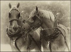 Suffolk Punch (strussler) Tags: england bw horse monochrome canon eos westsussex nb sw heavy suffolkpunch northchapel imagepoetry ef135f2l silverefexpro 5dmkii dontforgetneda
