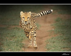 Cheetah run new edition (- Marc - busy) Tags: power ngc run cheetah namibia kraft elegance gepard eleganz specanimal mygearandmepremium mygearandmebronze mygearandmesilver mygearandmegold mygearandmeplatinum mygearandmediamond mygearandmeplatinium aboveandbeyondlevel1 aboveandbeyondlevel2
