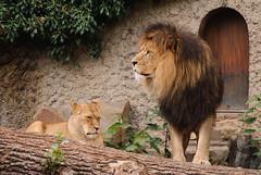 Lions (sillie_R) Tags: amsterdam lion artis