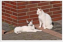 Nachbars Katzen Emil und Morpheus - Emil and Morpheus, cats in the neighborhood