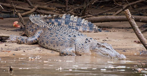 Daintree Rainforest Female Croc by emmettanderson, on Flickr