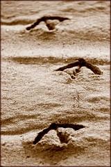 tracce (mario bellavite) Tags: sea bird beach sand shot seagull best explore arrows albatros spiaggia orme sabbia frecce uccello impronte tracce puntaala mariobellavite