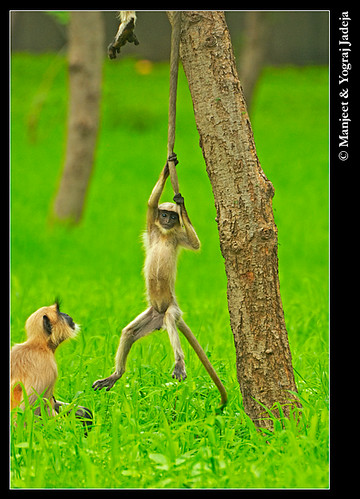 Juvenile Hanuman langur playing