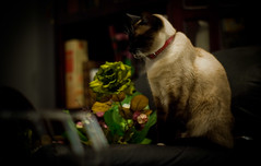 alely (volkstilo) Tags: pet animal cat 50mm pentax siamese gato gata felino siames mascota km k2000 pentaxa justpentax
