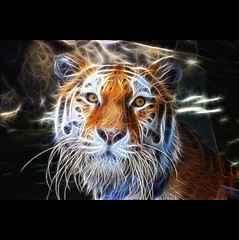 (Sergio Verrecchia - Digital Imaging Technician) Tags: sergioverrecchia tigre tiger fractalius nikon sanpietroburgo saintpetersburg predatorealfa pantheratigristigris pantheratigrisaltaica pantheratigris siberiantiger flickrbronzeaward   flickrsilverawar