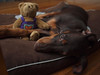 Max bear 8 (portusjacksonii) Tags: red dog max puppy doberman ep1 strobist fl36r panasonic20mm17