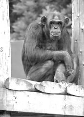 Chimpanzee (@AnnerleyJphotos) Tags: twycross zoo warwickshire england uk bw black white mono chimpanzee ape primate endangered europe european animal beast wildlife creature critter living alive zoological animaux tier animale animales bestia bestie bte brute annerleyjohnson annerleyjphotos
