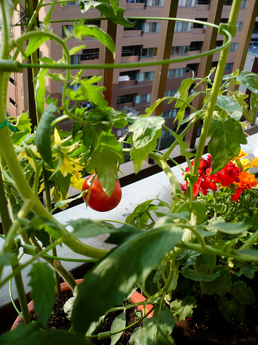 My tomato growing like crazy