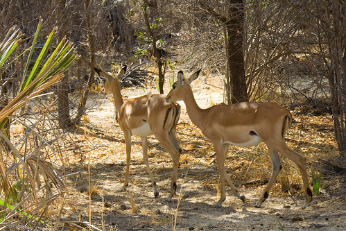 Female Impalas - Selous Game Reserve, Tanzania