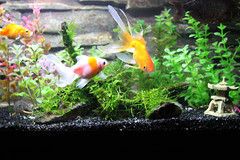 Fish Update - new DW with Peacock Moss (Alea Jacta Est !) Tags: fish aquarium tank goldfish driftwood guppies rcs mossstone peacockmoss cherryshrimps