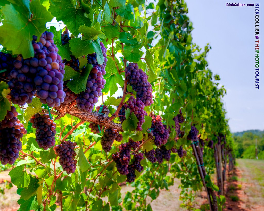 Wine Grapes HDR