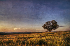 One Tree in a Field of Wheat (Kerstin Hellstrom) Tags: tree texture field landscape sweden wheat sverige legacy trd jmtland ker landskap vete frsn jamtland