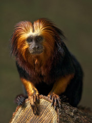 Golden-headed Lion Tamarin (Leontopithecus chrysomelas) (PeterQQ2009) Tags: animals monkeys mammals