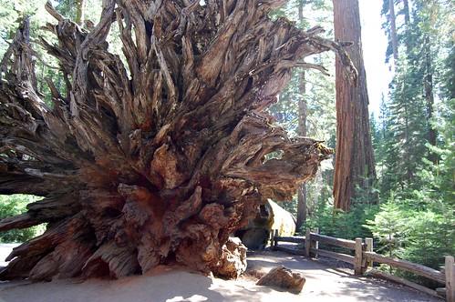 Fallen Giant Sequoia Mariposa Grove Yosemite National Park California