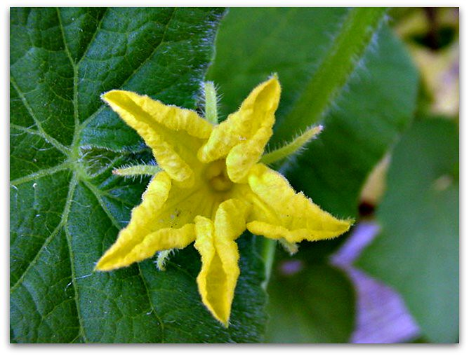 The World 39 S Best Photos Of Dicot And Yellowflower Flickr