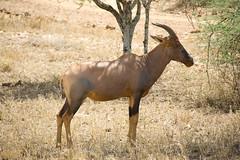 Topi - Serengeti National Park, Tanzania