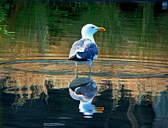 Seagull ~ ! (Anuma S. Bhattarai) Tags: uk nepal white macro reflection bird water birds photography scotland pond asia edinburgh flickr unitedkingdom seagull cybershot bathing nepali whitebird birdsbathing anuma bhattarai cybershotdsch50 anumabhattarai anumasphotography anumasharmabhattarai