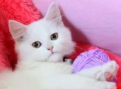 New Baby welcomeeeeee to my home ♥♥♥♥ (Maryam.Ibrahim) Tags: pink cute eye cat purple