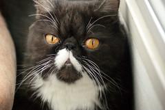 Orange eyes ♥ (Bruna Lacrout ☆) Tags: orange white cute animal branco cat eyes laranja preto gata persa ori blck morgana meubebê sonya230 persaexótico orichan bigodesbrancos