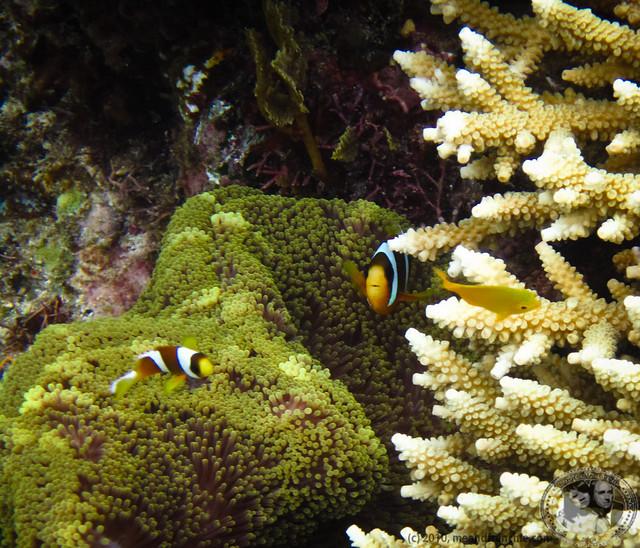 Clownfish AKA Nemo