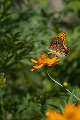 Asian Comma & Cosmos Sulphureus