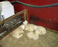 Recently separated lambs
