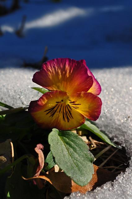 Viola x 'Radiance Red' (3)