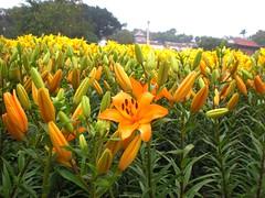Lily_Orange Color (地景花海區)