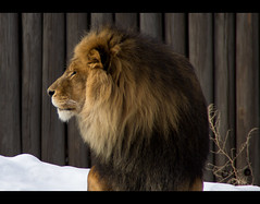 The King (btn1131) Tags: nature animals feline sony lion a33 getty tamron 18200 slt clevelandzoo