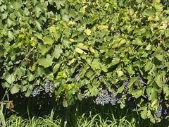 Limitar el rendimiento de la viña no garantiza más calidad, según experto