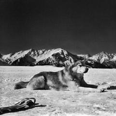 Snow, Dog (Mind & Brain) Tags: dog snow ski mountains switzerland blackwhite valais p6 pentaconsix xtol1112min rolleisuperpan200 zeissbiometar80mmf28