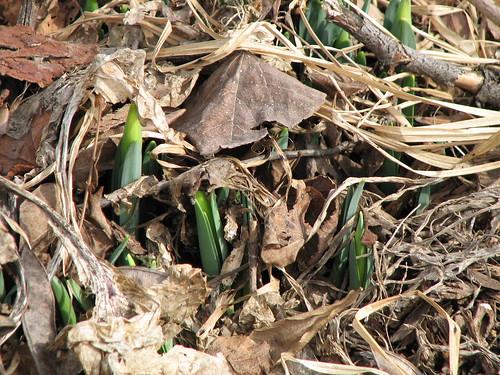 daffodil buds pushing their way up