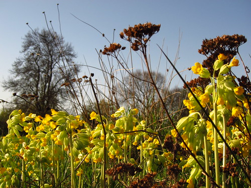 Cowslips on Hampstead Heath