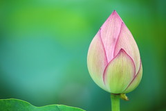 Bud of lotus (Teruhide Tomori) Tags: japon japan kyoto nature summer flower lotus 夏 京都 花 ハス 日本 東寺 教王護国寺 toji pond