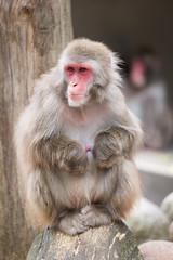 2017-07-02-14h48m38.BL7R2943 (A.J. Haverkamp) Tags: canonef100400mmf4556lisiiusmlens amsterdam noordholland netherlands zoo dierentuin httpwwwartisnl artis thenetherlands japansemakaak japanesemacaque nl